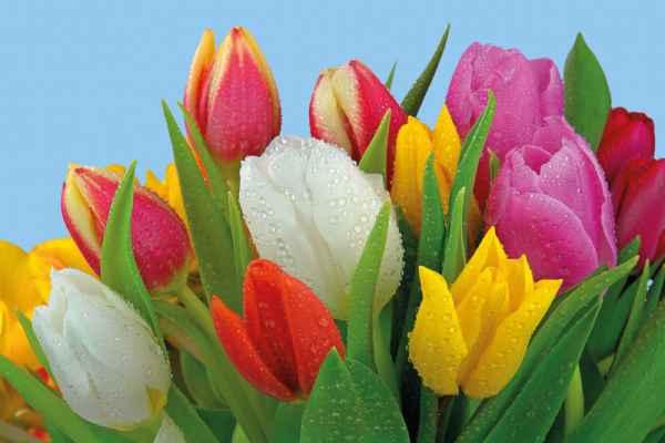 Carta da parati Tulipani 1