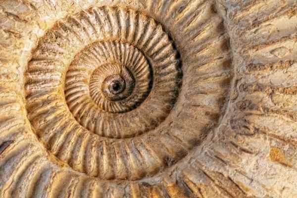 Carta da parati Ammonite fossile