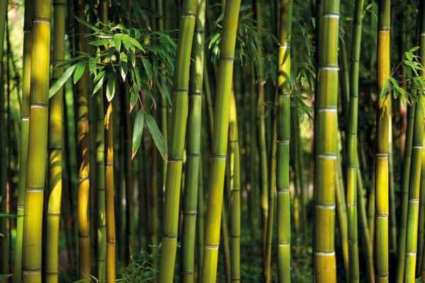 Carta da parati Bambous