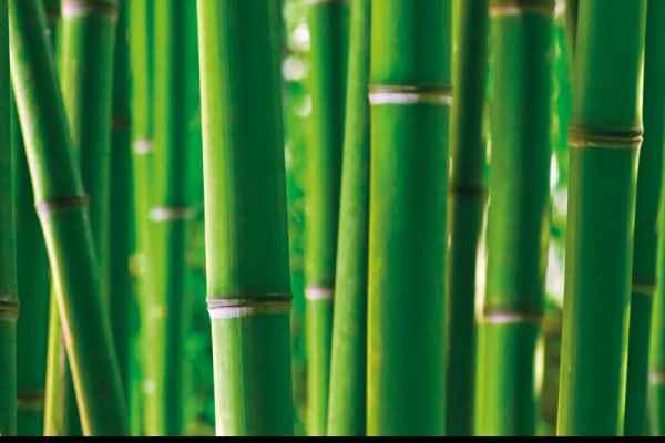 Carta da parati Canne Bamboo